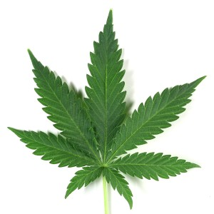 Cannabis-hbtv